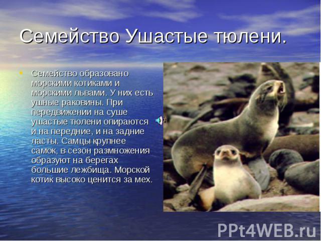 Семейство Ушастые тюлени. Семейство образовано морскими котиками и морскими львами. У них есть ушные раковины. При передвижении на суше ушастые тюлени опираются и на передние, и на задние ласты. Самцы крупнее самок, в сезон размножения образуют на б…
