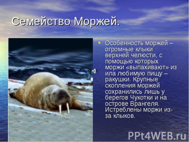 Семейство Моржей. Особенность моржей – огромные клыки верхней челюсти, с помощью которых моржи «выпахивают» из ила любимую пищу – ракушки. Крупные скопления моржей сохранились лишь у берегов Чукотки и на острове Врангеля. Истреблены моржи из-за клыков.
