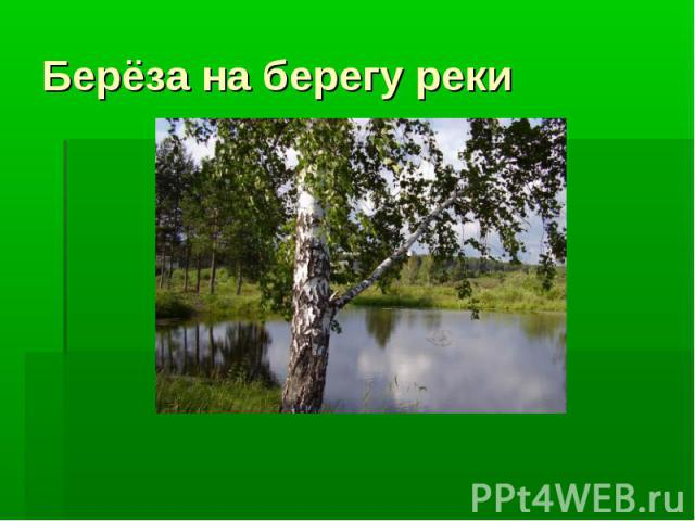 Берёза на берегу реки