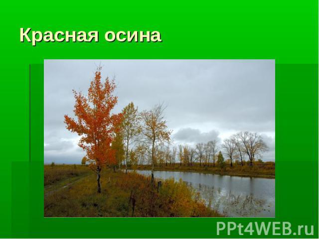 Красная осина