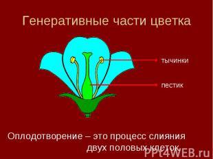 Генеративные части цветка Оплодотворение – это процесс слияния двух половых клет