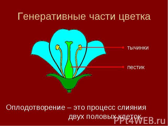 Генеративные части цветка Оплодотворение – это процесс слияния двух половых клеток.