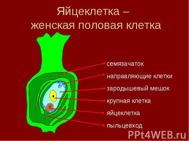 Яйцеклетка – женская половая клетка