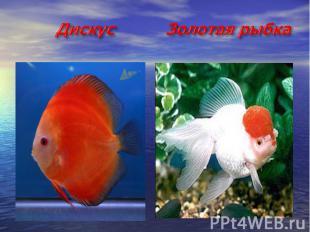 Дискус Золотая рыбка