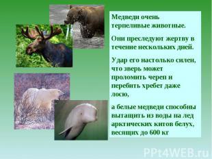 Медведи очень терпеливые животные. Они преследуют жертву в течение нескольких дн