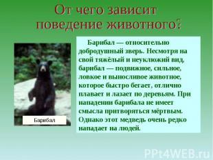 От чего зависит поведение животного?Барибал — относительно добродушный зверь. Не