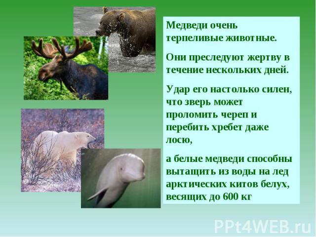 Медведи очень терпеливые животные. Они преследуют жертву в течение нескольких дней. Удар его настолько силен, что зверь может проломить череп и перебить хребет даже лосю, а белые медведи способны вытащить из воды на лед арктических китов белух, веся…
