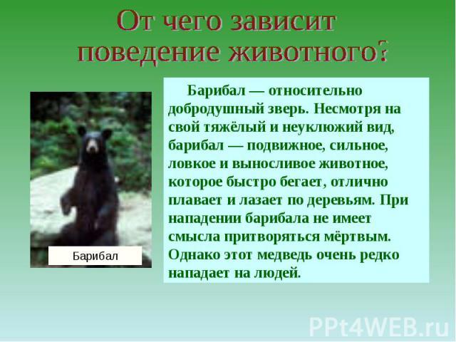 От чего зависит поведение животного?Барибал — относительно добродушный зверь. Несмотря на свой тяжёлый и неуклюжий вид, барибал — подвижное, сильное, ловкое и выносливое животное, которое быстро бегает, отлично плавает и лазает по деревьям. При напа…
