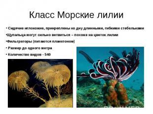 Класс Морские лилии