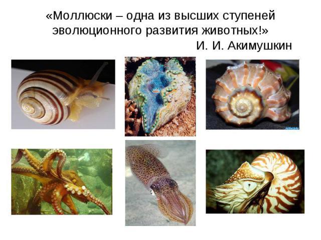 «Моллюски – одна из высших ступеней эволюционного развития животных!» И. И. Акимушкин
