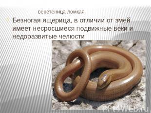 веретеница ломкая Безногая ящерица, в отличии от змей имеет несросшиеся подвижны