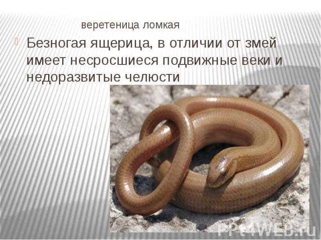 веретеница ломкая Безногая ящерица, в отличии от змей имеет несросшиеся подвижные веки и недоразвитые челюсти