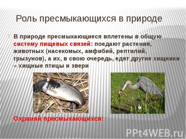 Роль пресмыкающихся в природе В природе пресмыкающиеся вплетены в общую систему пищевых связей: поедают растения, животных (насекомых, амфибий, рептилий, грызунов), а их, в свою очередь, едят другие хищники – хищные птицы и звериОхраняй пресмыкающихся!