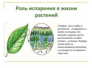 Роль испарения в жизни растений Главная масса воды в растениях испаряется в возд
