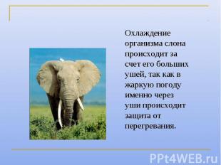 Охлаждение организма слона происходит за счет его больших ушей, так как в жаркую