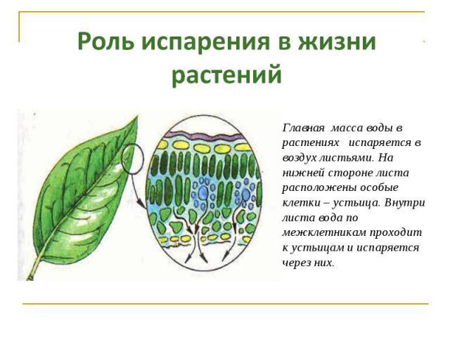 Роль испарения в жизни растений Главная масса воды в растениях испаряется в воздух листьями. На нижней стороне листа расположены особые клетки – устьица. Внутри листа вода по межклетникам проходит к устьицам и испаряется через них.