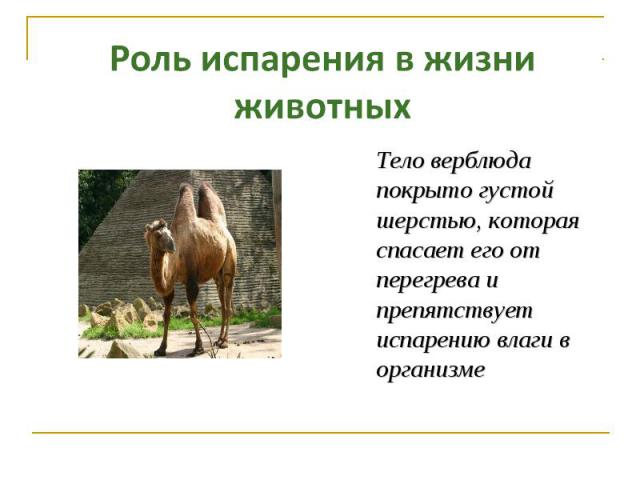 Роль испарения в жизни животных Тело верблюда покрыто густой шерстью, которая спасает его от перегрева и препятствует испарению влаги в организме