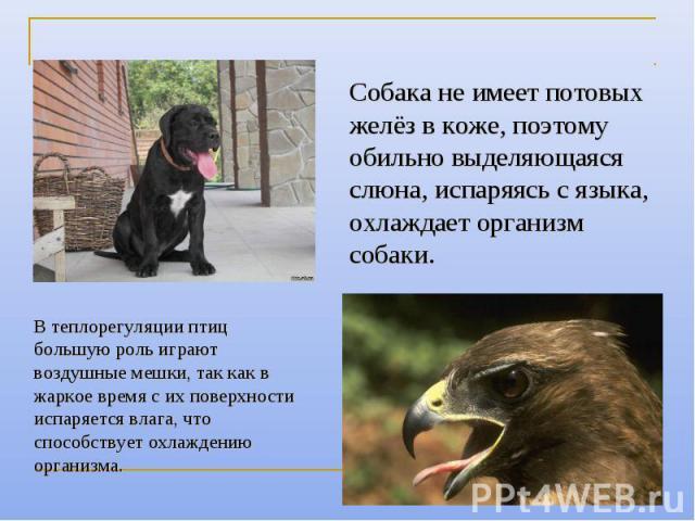 Собака не имеет потовых желёз в коже, поэтому обильно выделяющаяся слюна, испаряясь с языка, охлаждает организм собаки. В теплорегуляции птиц большую роль играют воздушные мешки, так как в жаркое время с их поверхности испаряется влага, что способст…