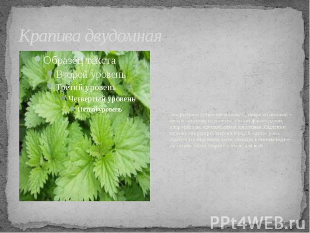 Крапива двудомная Это растение богато витамином С, микроэлементами – медью, железом, марганцем, а также фитонцидами, хлорофиллом, органическими кислотами. Издавна и поныне она употребляется в пищу. В «дело» у нее годится вся надземная часть: молодая…