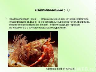 Взаимополезные (++) Протокооперация(англ.) — форма симбиоза, при которой совмес