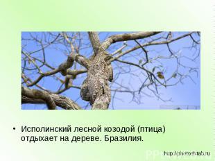 Исполинский лесной козодой (птица) отдыхает на дереве. Бразилия. http://photosht