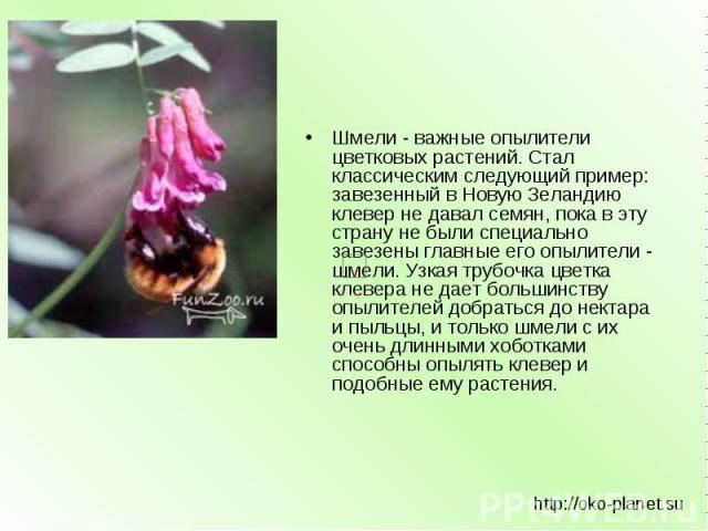 Шмели - важные опылители цветковых растений. Стал классическим следующий пример: завезенный в Новую Зеландию клевер не давал семян, пока в эту страну не были специально завезены главные его опылители - шмели. Узкая трубочка цветка клевера не дает бо…