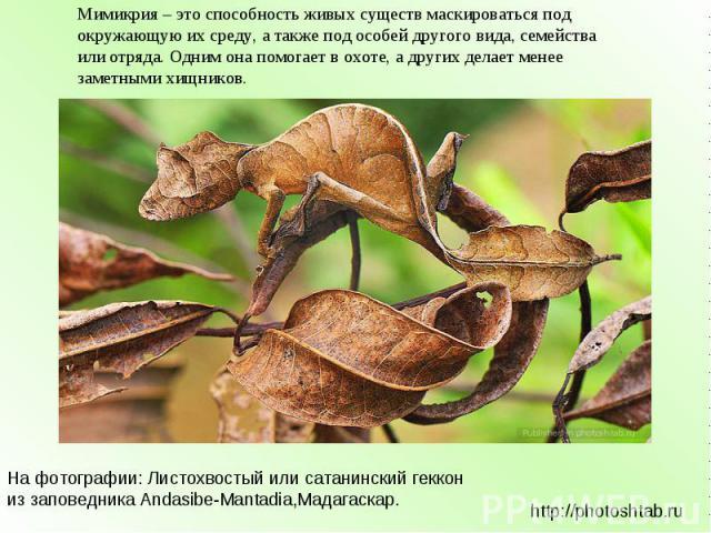 Мимикрия – это способность живых существ маскироваться под окружающую их среду, а также под особей другого вида, семейства или отряда. Одним она помогает в охоте, а других делает менее заметными хищников. На фотографии: Листохвостый или сатанинский …