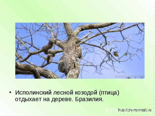 Исполинский лесной козодой (птица) отдыхает на дереве. Бразилия. http://photoshtab.ru