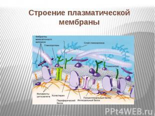 Строение плазматической мембраны