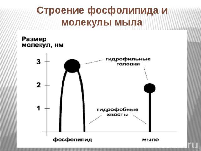 Строение фосфолипида и молекулы мыла