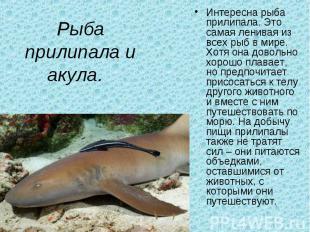 Рыба прилипала и акула. Интересна рыба прилипала. Это самая ленивая из всех рыб
