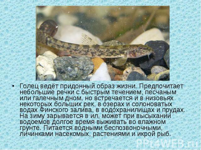 Голец ведёт придонный образ жизни. Предпочитает небольшие речки с быстрым течением, песчаным или галечным дном, но встречается и в низовьях некоторых больших рек, в озерах и солоноватых водах Финского залива, в водохранилищах и прудах. На зиму зарыв…