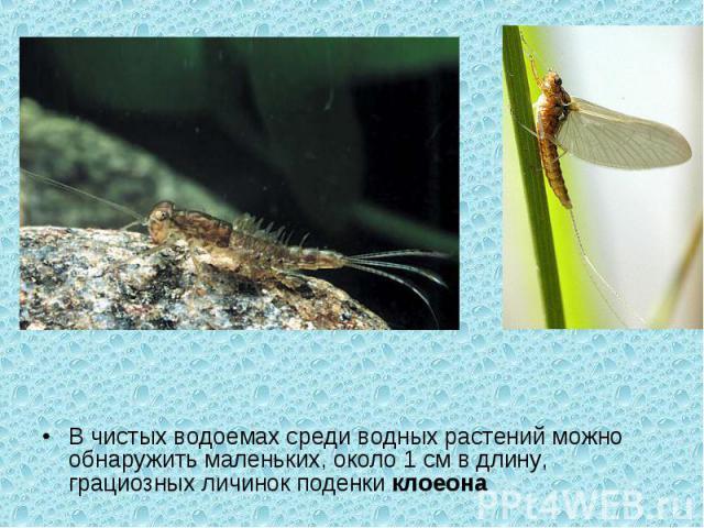 В чистых водоемах среди водных растений можно обнаружить маленьких, около 1 см в длину, грациозных личинок поденкиклоеона