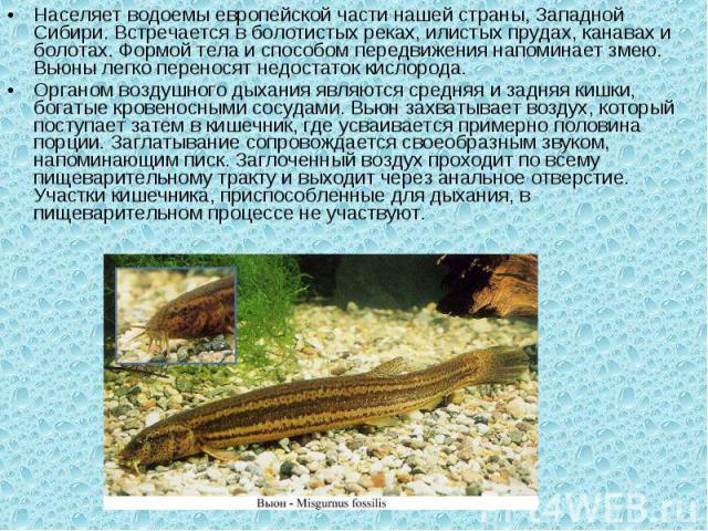Населяет водоемы европейской части нашей страны, Западной Сибири. Встречается в болотистых реках, илистых прудах, канавах и болотах. Формой тела и способом передвижения напоминает змею. Вьюны легко переносят недостаток кислорода.Органом воздушного …