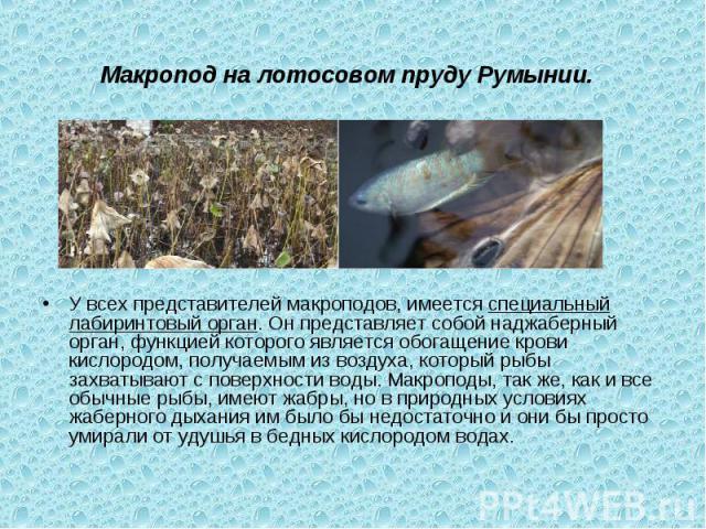 Макропод на лотосовом пруду Румынии. У всех представителей макроподов, имеетсяспециальный лабиринтовый орган. Он представляет собой наджаберный орган, функцией которого является обогащение крови кислородом, получаемым из воздуха, который рыбы захва…