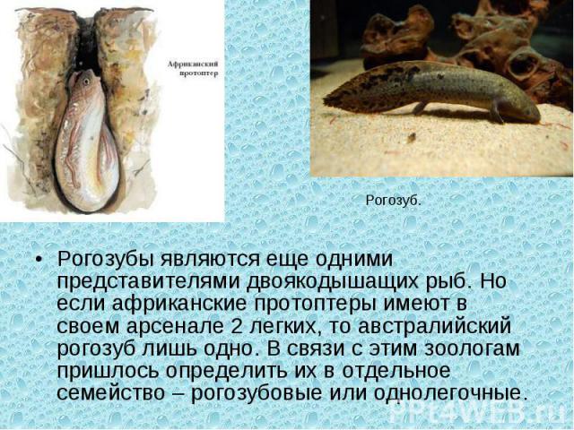 Рогозубы являются еще одними представителями двоякодышащих рыб. Но если африканские протоптерыимеют в своем арсенале 2 легких, то австралийский рогозуб лишь одно. В связи с этим зоологам пришлось определить их в отдельное семейство – рогозубовые ил…
