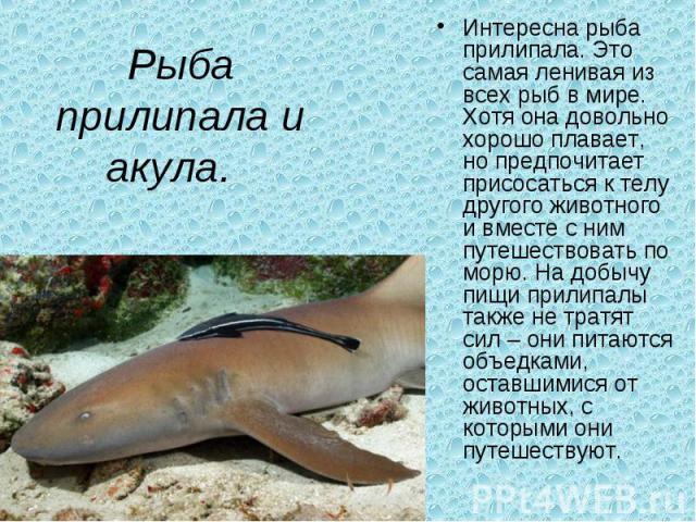 Рыба прилипала и акула. Интересна рыба прилипала. Это самая ленивая из всех рыб в мире. Хотя она довольно хорошо плавает, но предпочитает присосаться к телу другого животного и вместе с ним путешествовать по морю. На добычу пищи прилипалы также не …