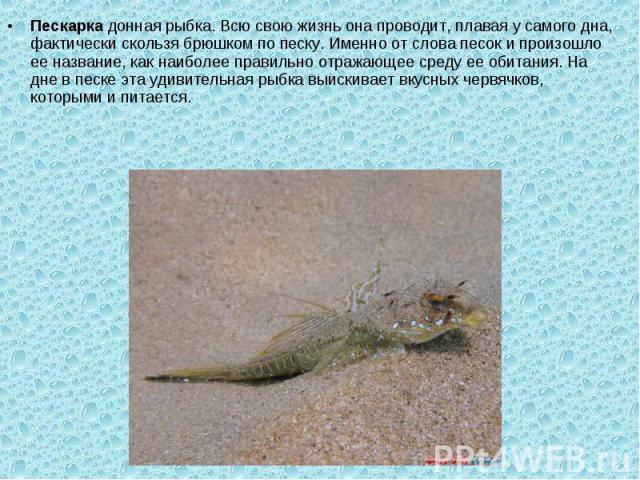 Пескаркадонная рыбка. Всю свою жизнь она проводит, плавая у самого дна, фактически скользя брюшком по песку. Именно от слова песок и произошло ее название, как наиболее правильно отражающее среду ее обитания. На дне в песке эта удивительная рыбка в…