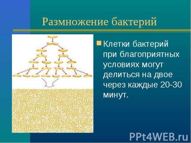 Размножение бактерий Клетки бактерий при благоприятных условиях могут делиться на двое через каждые 20-30 минут.
