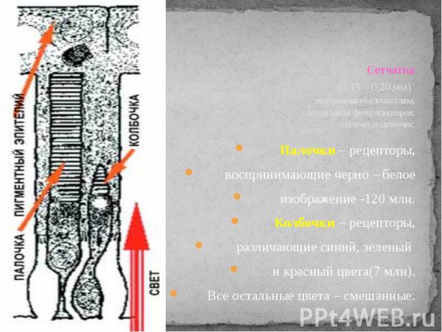 Сетчатка (0,15 – 0,20 мм) внутренняя оболочка глаза, состоящая из фоторецепторов: палочек и колбочек. Палочки – рецепторы, воспринимающие черно – белое изображение -120 млн.Колбочки – рецепторы, различающие синий, зеленый и красный цвета(7 млн). Все…