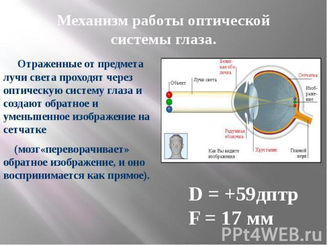 Механизм работы оптической системы глаза. Отраженные от предмета лучи света проходят через оптическую систему глаза и создают обратное и уменьшенное изображение на сетчатке  (мозг«переворачивает» обратное изображение, и оно воспринимается как прямое).