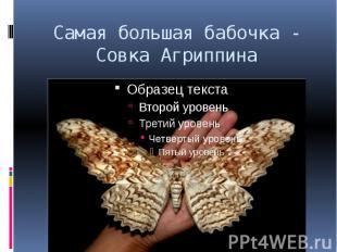 Самая большая бабочка - Совка Агриппина