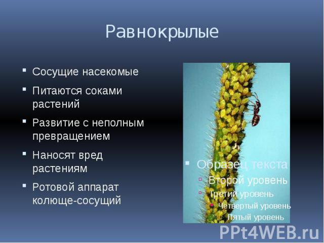 Равнокрылые Сосущие насекомыеПитаются соками растенийРазвитие с неполным превращениемНаносят вред растениямРотовой аппарат колюще-сосущий