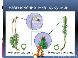 Размножение мха кукушкин лен