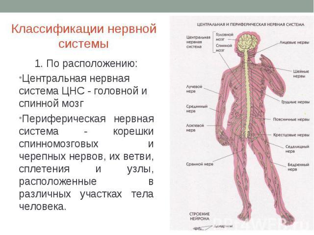 Классификации нервной системы 1. По расположению:Центральная нервная система ЦНС - головной и спинной мозгПериферическая нервная система - корешки спинномозговых и черепных нервов, их ветви, сплетения и узлы, расположенные в различных участках тела …