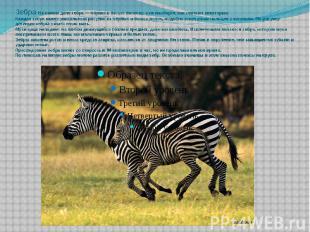 Зебра: На самом деле зебра — чёрная в белую полоску, а не наоборот, как считают