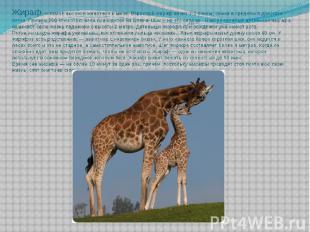 Жираф — самое высокое животное в мире. Взрослый жираф весит 1-2 тонны, самки в с