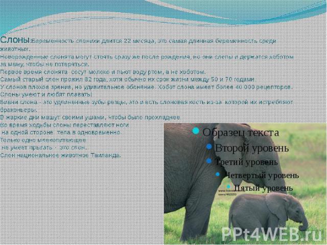 Слоны:Беременность слонихи длится 22 месяца, это самая длинная беременность среди животных.Новорожденные слонята могут стоять сразу же после рождения, но они слепы и держатся хоботом за маму, чтобы не потеряться.Первое время слонята сосут молоко и п…