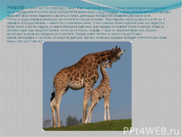Жираф — самое высокое животное в мире. Взрослый жираф весит 1-2 тонны, самки в среднем в два раза легче. Причем 250 кг из этого веса приходится на шею и 10 кг – на его сердце. Новорожденные детеныши жирафа начинают свою жизнь падением с высоты 2 мет…
