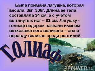 Была поймана лягушка, которая весила 3кг 306г. Длина ее тела составляла 34 см, а